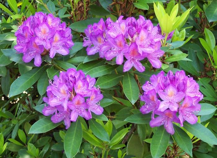 Rhododendron ponticum