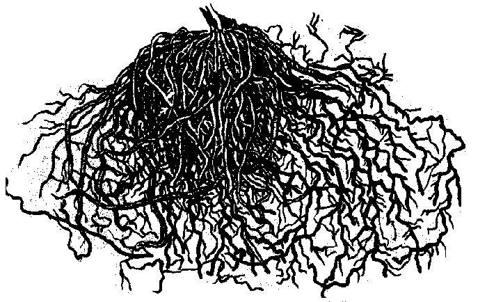 Мочковатая корневая система клематиса