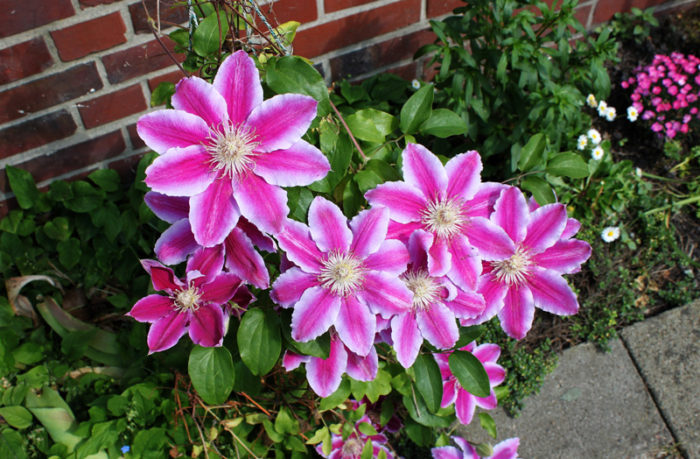 Clematis 'Doctor Ruppel' клематисы