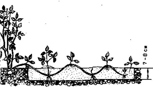 Размножение клематиса отводками