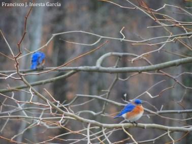 Pájaro azul del este (Sialia sialis) - USA