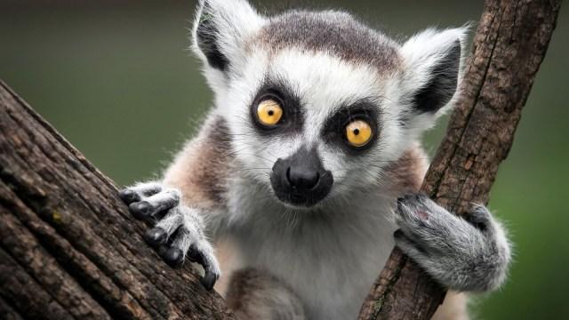 ring tailed lemur adaptations