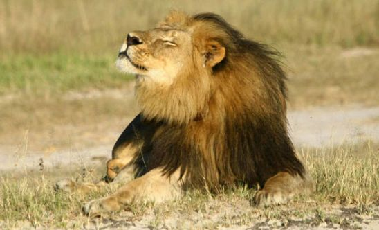 Cecil-the-lion-sunbathing-340229