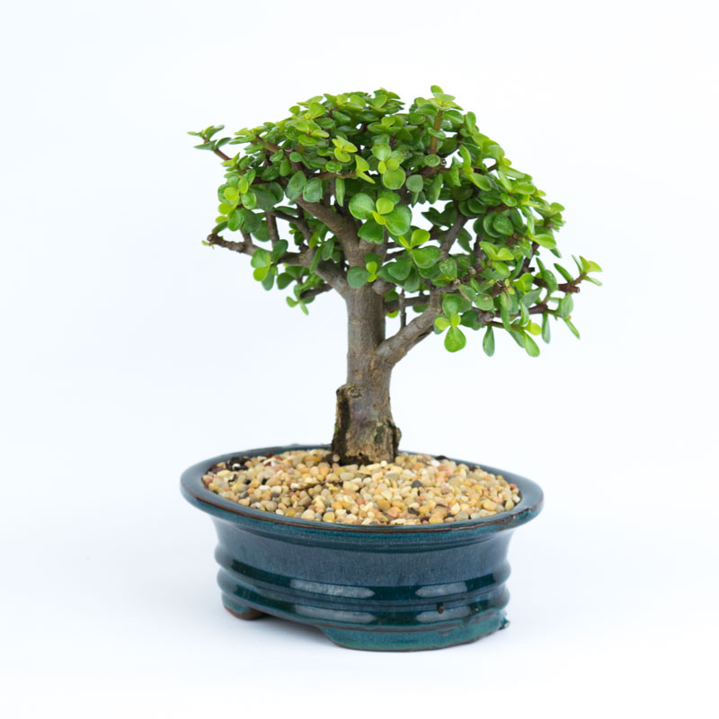 Green Jade Bonsai Elemental Bonsai Tea Garden