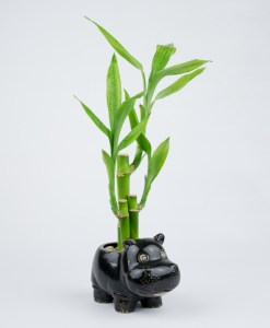 Lucky Bamboo Straight