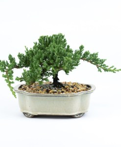 One of a Kind Bonsai