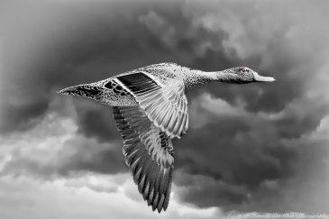 duckNapier2