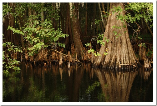 Cypress Trees along the Withlacoochee River