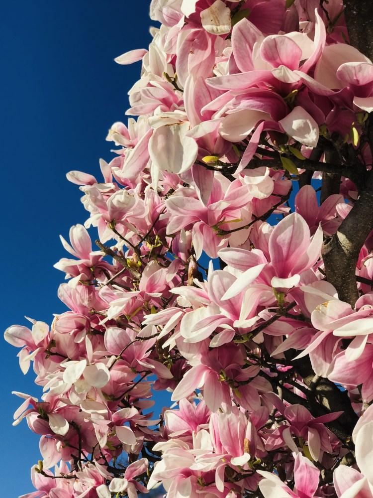 Magnolia in fiore nel mese di marzo