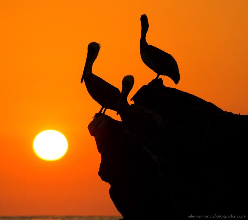 Pelicanos al amanecer