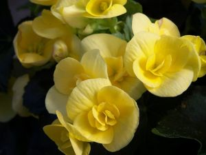 Yellow Begonias