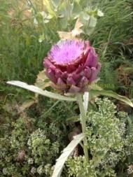 Artichoke in flower.