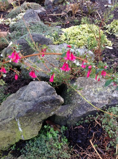 'Jingle Bells' hardy fuchsia.