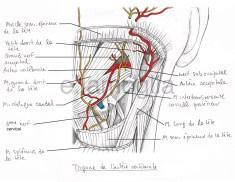 artere-vertebrales