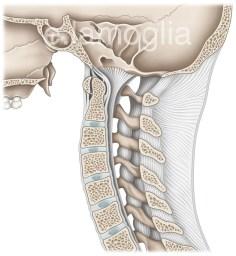 ligaments-cervicaux