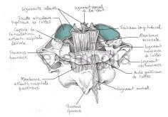 membranes-atlantocervicales02