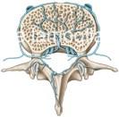 veines-vertebre