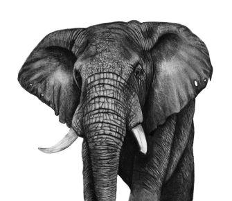 elephant-ashleigh