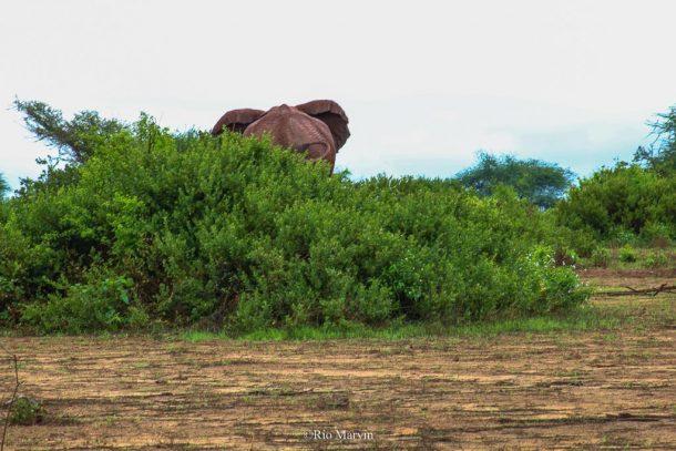 A lone bull