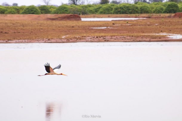 Yellow Billed Stork in Flight