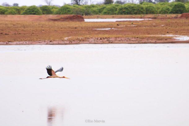 Yellow Billed Stork in Flight