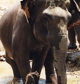 Shirley : Elephant of the Week at The Elephant Sanctuary in Tennessee : Elephas maximus sumatranus Part 2