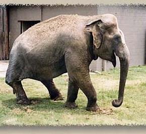 Shirley : Elephant of the Week at The Elephant Sanctuary in Tennessee : Elephas maximus sumatranus  Part 1