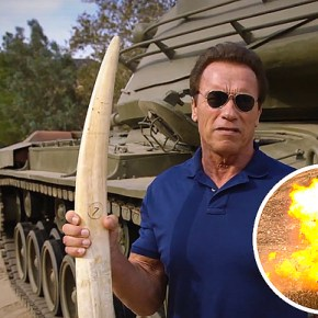 The Terminator Arnold @Schwarzenegger Takes A Stand For Elephants on Twitter and in a New Video For @96Elephants & @TheWCS
