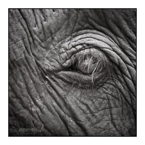 Thai elephanteye B&W photo by Vincent_AF