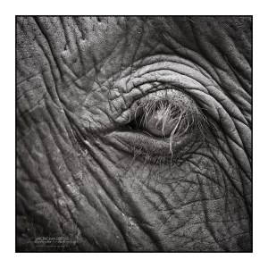 Thai elephant eye B&W photo by Vincent_AF