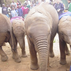 British Airways Gives the Ultimate Gift To Save Elephants With Their Sponsorship & Conservation Efforts at The David Sheldrick Wildlife Trust in Nairobi, Kenya Africa