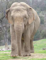 Gypsy :  Elephant of the Week at PAWS – Performing Animal Welfare Society : Elephas Maximus