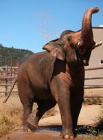 Nicholas : Elephant of the Week at PAWS – Performing Animal Welfare Society : Elephas Maximus