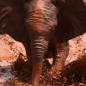 """A Day in The Life: """"Sometimes Naughty"""" Always Cute Orphaned Baby Elephants Enjoy Their Mud Baths in Their Sanctuary at The David Sheldrick Wildlife Trust in Kenya, Africa: American Travel Photographer Observes"""