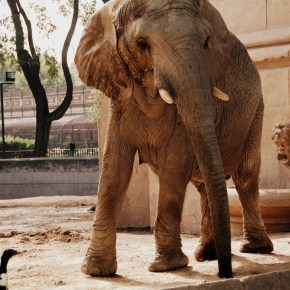 """There is Hope For Pupi & Kuki: Zoo Elephants in Argentina Soon To Be Released to Elephant Sanctuary as Buenos Aires Officials Relocating Most All of Its Captive Wildlife From """"All But Abandoned"""" Palermo Zoo"""