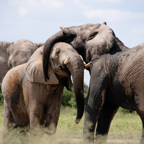 Have We Failed Our African Elephants? : Grim News as the Great Elephant Census Reveals Less Than 350,000 African Savanna Elephants Remain in the Wild Due to POACHING