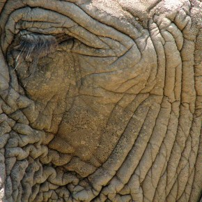""" Unless We Act Now Skin Could Become the New Ivory "": UK Charity Elephant Family Sends Out Urgent Message That Asian Elephants are Now Being Killed For Their Skin"