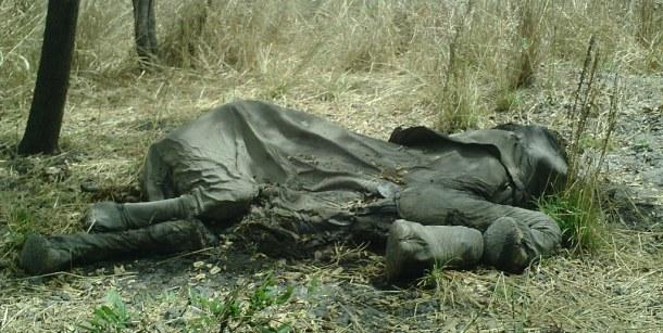 elephant-poached-carcass-cc-flickr-usfws