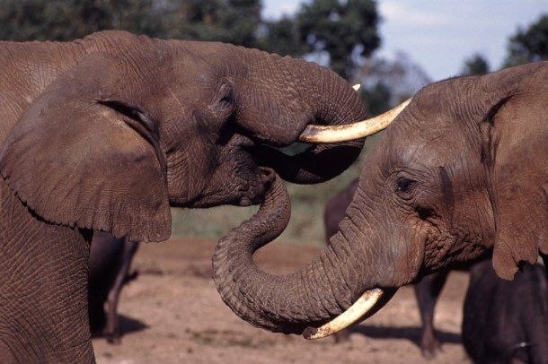 elephant-together-tusks-pixabay