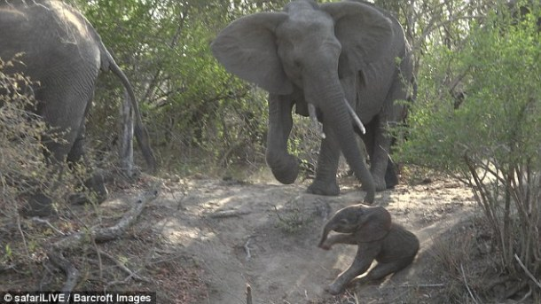 baby-elephant-just-hours-old-slipping-image-daily-mail