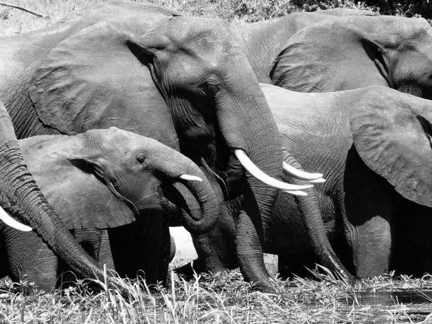 elephants drinking at waterhole by zoanaa cc flickr
