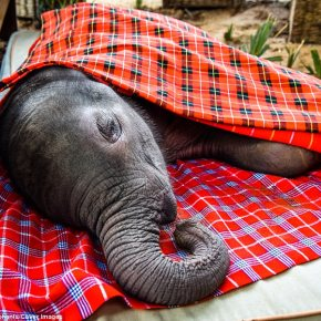 Prayers Needed For Fragile Baby Elephant Named Ewaso Who Was Rescued at Just 8 Days Old From Rain-Swollen River in Kenya