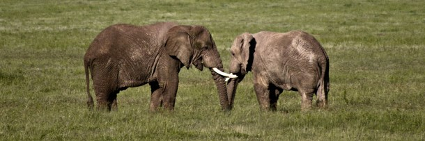 elephants facing each other tanzania by william Warby cc flickr