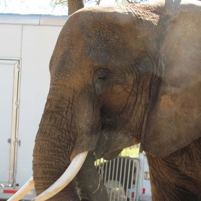 Nosey the Circus Elephant Finds Refuge in Sanctuary For Now But Our Work as Elephant Activists to Save Nosey is Not Over Yet : A Timeline of Nosey's Rescue