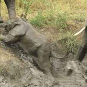 Video Moment:  It's What Mother Elephants Do! Spirited Little Male Elephant Stumbles Across River in Kruger National Park But Can't Quite Make It Up the Slippery Riverbank Without Mama's Help