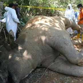 """Human – Elephant Conflict : Sumatran Elephant Discovered Dead on Palm Oil Plantation & Officials Fear Another """"Deliberate Poisoning"""" of the Critically Endangered Species"""