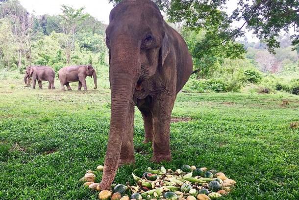 Pang Fai Elephant Of The Week At Bles Light Elephant Spoken Here