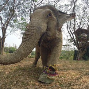 Wassana : Elephant of the Week at Boon Lott's Elephant Sanctuary : Fortune