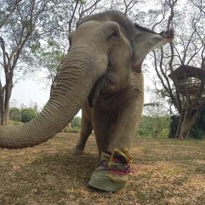 Wassana : Elephant of the Week at Boon Lott's Elephant Sanctuary : Fortune