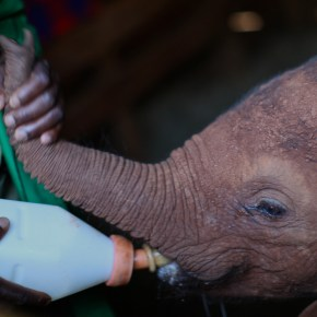 Video Moment : It's Christmas Fostering Time at The David Sheldrick Wildlife Trust, Choose Your Elephant to Adopt & Help Save a Little Elephant's Life